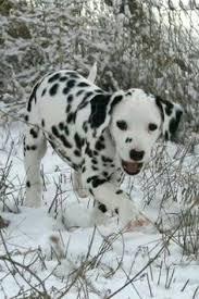 cult cat dalmatian animal dog