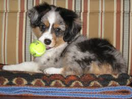australian shepherd puppy 4 months puppy feedback u2013 alangus mini aussies a dog blog