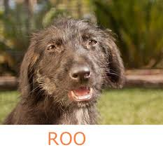 adopt a australian shepherd aussie rescue of san diego daily dog tagdaily dog tag