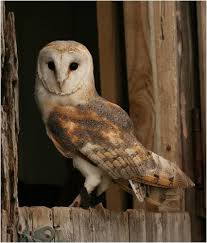 Barn Relocation Barn Owl Removal Houston Dallas Fort Worth 911 Wildlife