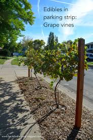 Planting Grapes In Backyard Backyard Farming Another Use For Parking Strip Grape Vines