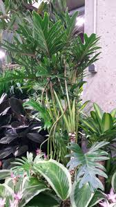 138 best philodendron images on pinterest houseplants indoor