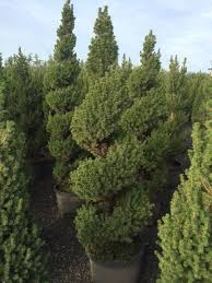Real Topiary Trees For Sale - spiral topiary trees live u0026 artificial topiaries