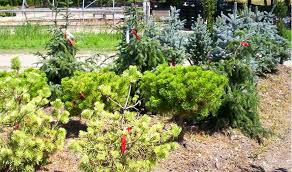 franklin nursery ornamental trees garden plants