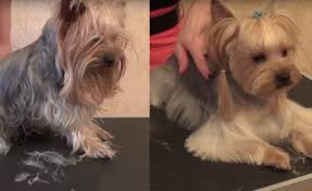 haircut for morkies yorkie haircuts for males and females 60 pictures yorkie life