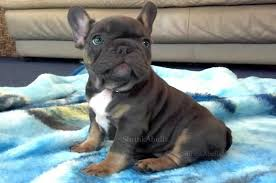 french bulldog breeders french bulldog puppies for sale french