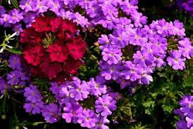 Verbena Flower Flowers Hd Picture