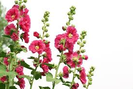 Hollyhock Flowers Hollyhock Pictures Images And Stock Photos Istock