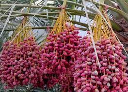 fresh dates fruit fresh dates fruits buy fresh dates fruits fresh dates fruits