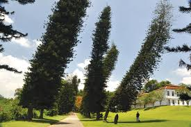 the strange cook pine trees that always lean towards the equator