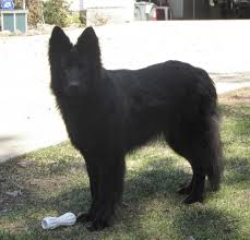 belgian sheepdog breeders indiana crooked river german shepherds things you should know