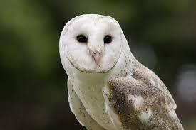 Scientific Name Of Barn Owl Barn Owl Lone Pine Koala Sanctuary
