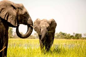 watch new documentary reveals elephants are much more intelligent