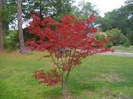 Tree Pruning Japanese Maples When And How To Prune A Japanese Maple