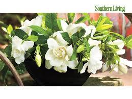 Gardenia Flower The Complete Guide To Gardenias Southern Living