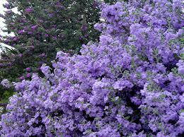 texas native plants database lynn u0027s legacy cenizo texas sage 5 u0027 rounded bush silvery