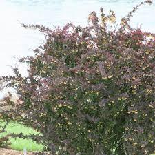 proven winners 3 gal sunjoy syrah barberry berberis live shrub
