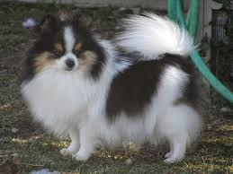 afghan hound collie mix u0027s dog blog 25 tricolor dog breeds