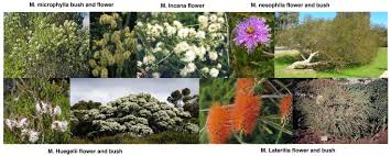 australian native hedging plants a melaleuca hedge u2026the excitement u2013 mandurah native gardens