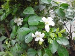 List Of Tropical Plants Names - kemuning exotic plants in indonesia
