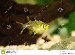celebes rainbow fish marosatherina ladigesi rainbowfish freshwater