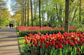 guide to seeing the tulips near amsterdam