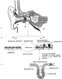 Anatomy Ear Anatomy Of The Ear Schematic Structure Of The Middle Ear