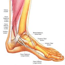 Foot Tendons Anatomy Nerve Pain In The Toes Due To Swelling And Pressure On The Flexor