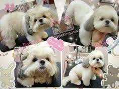 zuchon hair cuts teddy bear dogs hair styles google search dog grooming
