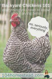 backyard chickens 101 everything you need to know about laying hens