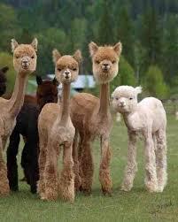 Alpaca Meme - alpaca dad album on imgur