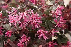 Pink Spring Flowering Shrubs - loropetalum u2013 purple blooms u2013 precision landscape
