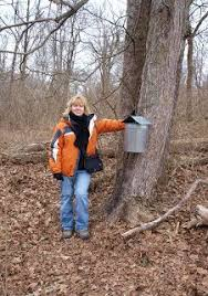 Backyard Maple Syrup by Tapping Maple Trees And Making Maple Syrup Maple Syrup