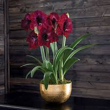 amaryllis bulb gifts the most popular gift plant