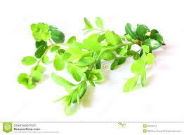 boxwood shrub leaves stock images image 25276274