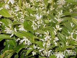 Fragrant Container Plants - dwarf sarcocca shade loving evergreens that have fragrant