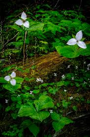 washington state native plants 137 best trillium images on pinterest wildflowers native plants