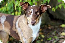australian shepherd catahoula mix chocolate adopted dog salem nh catahoula leopard dog