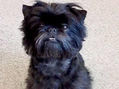 affenpinscher near me affenpinscher makes my heart warm and fuzzy u003c3 pinterest dog