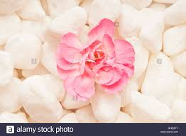pink carnation flower on white pebbles meditation and mindfulness