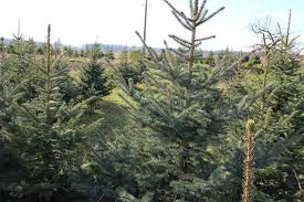 top 4 tree types for christmas