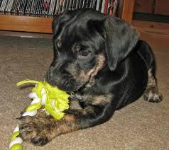 australian shepherd mastiff mix harlan the mastiff mix puppies daily puppy