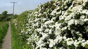 native hedgerow plants hawthorn hedging approx 2 3ft crataegus quickthorn whitethorn
