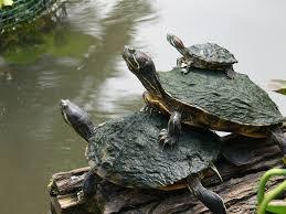 Texas Map Turtle Turtles By Dan Machold Woof Purr Tweet Pinterest Turtle