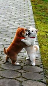 Shiba Inu Meme - shibas are so cute http ift tt 2ai75r3 awww animals babies
