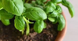 basilico in vaso malattie coltivare basilico aromatiche coltivare basilico