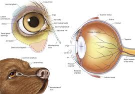 Anatomy Of A Cats Eye Services Offered Vetss