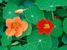 nasturtium flowers nasturtium flower of the day hgtv