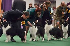 australian shepherd working vs show dog breeds old vs new working vs show with many pictures page
