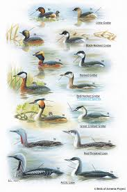 plate 1 grebes and loons a field guide to birds of armenia